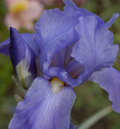 Iris at Gamble Gardens, Palo Alto. (c) Giordano Beretta. All rights reserved.