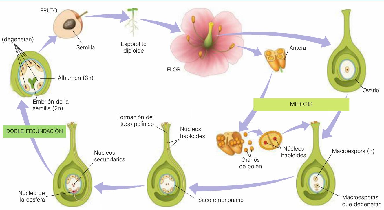 Reproduccion sexual de las plantas con flores y frutos