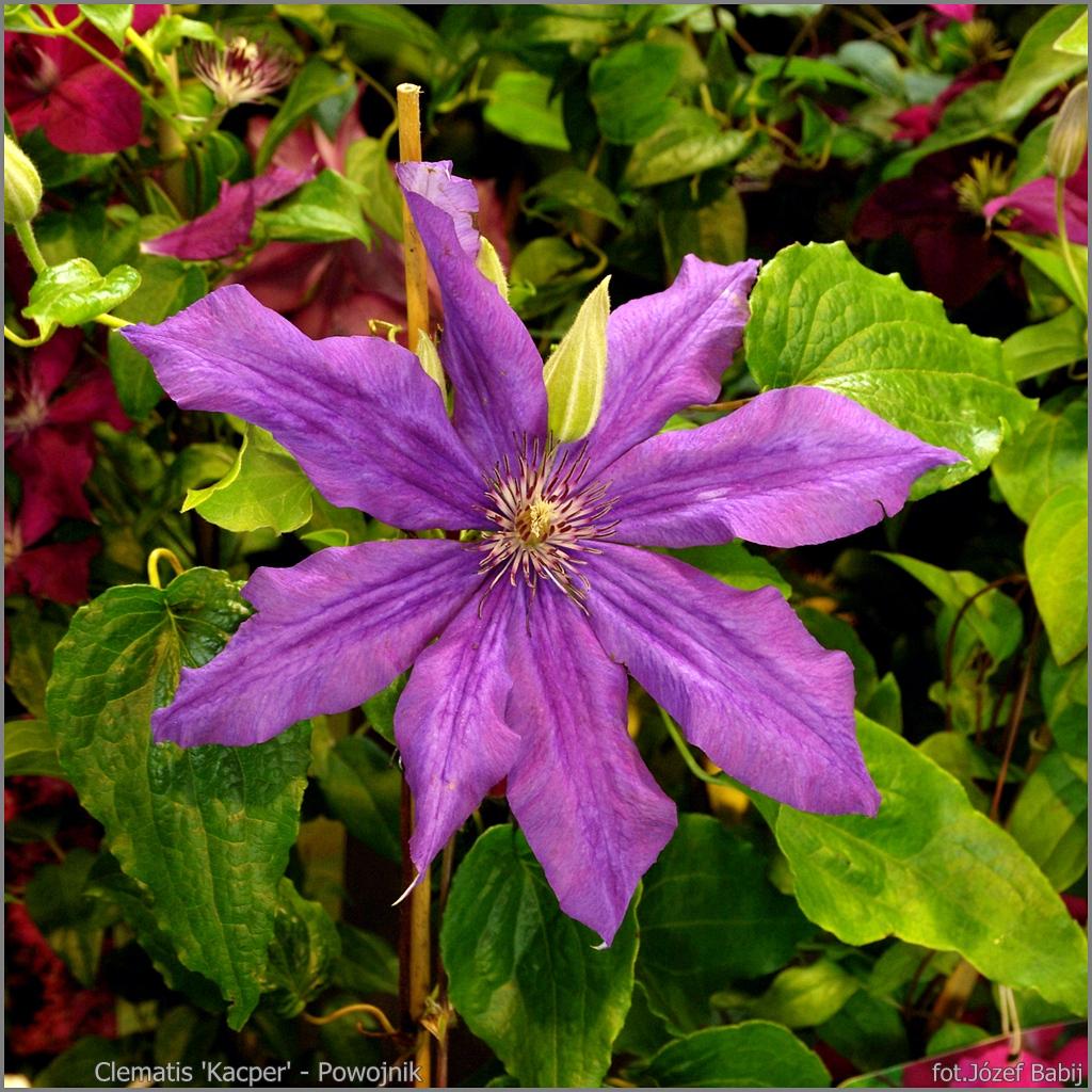 Clematis 'Kacper' flower - Powojnik kwiat