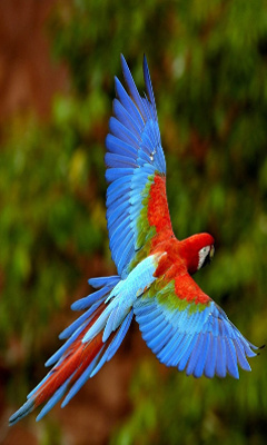 bright blue and red parrot in flight