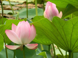 water lily flower in bloom at summer palace china july 2012 by garden muses: a Toronto gardening blog
