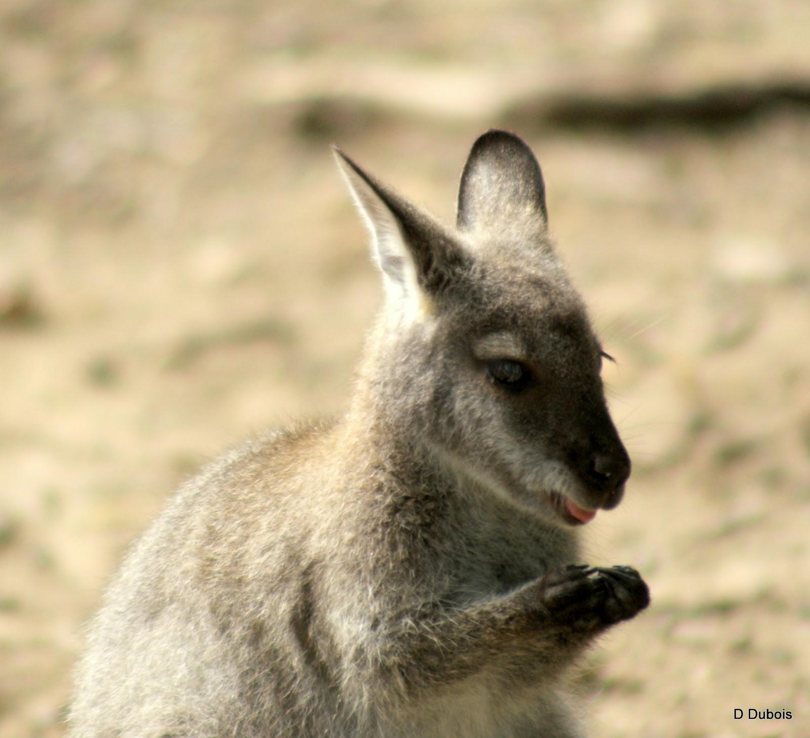 Wallaby r serve de la haute touche d tours de france for Haute touche