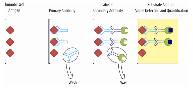 linked immunosorbent essay There are many different applications of elisa and the assay may be modified in a number of ways direct versus indirect elisa indirect elisa: essentially the method.