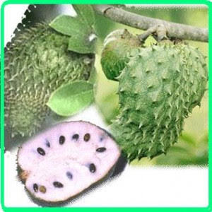 Soursop Annona Muricata Traditional Medicine For Baby