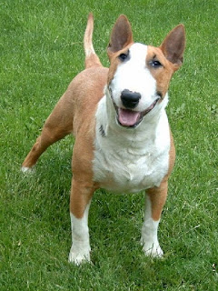 Bull Terrier Puppy Picture