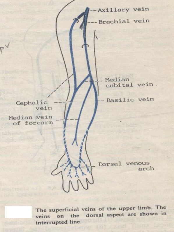 mbbs medicine (humanity first): the veins, Cephalic Vein