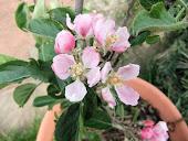 Braeburn Blossom