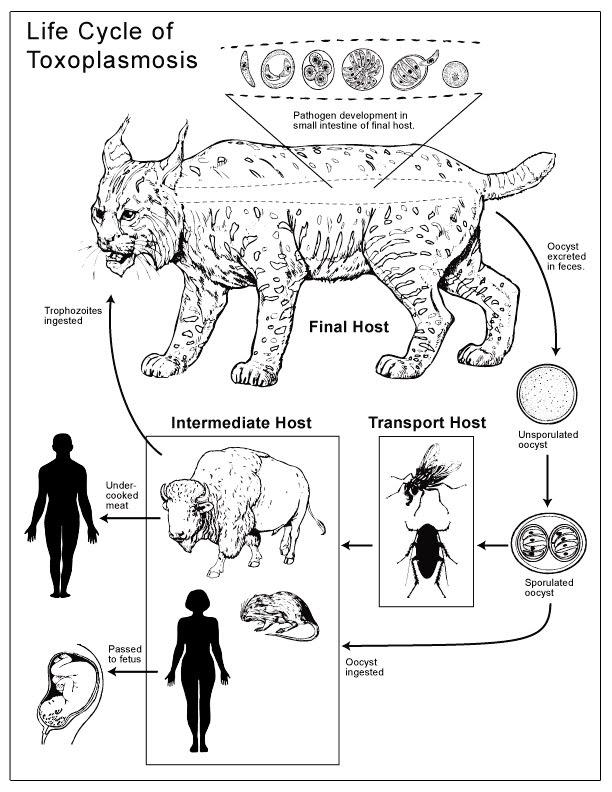 Токсоплазмоз у кошек схема лечения