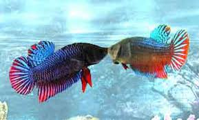 Cara Mudah Perawatan Ikan Cupang