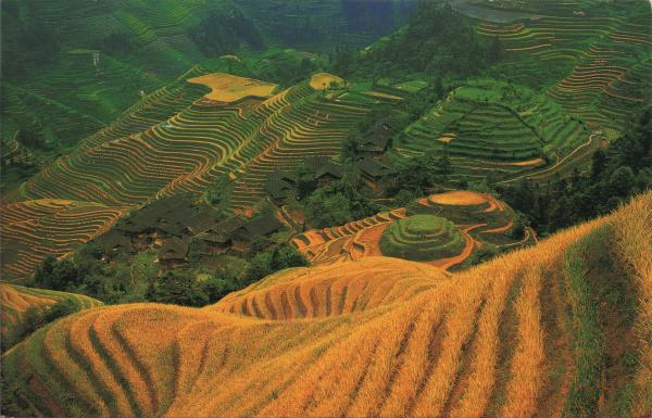 golden yellow rice terraces cut into mountain side