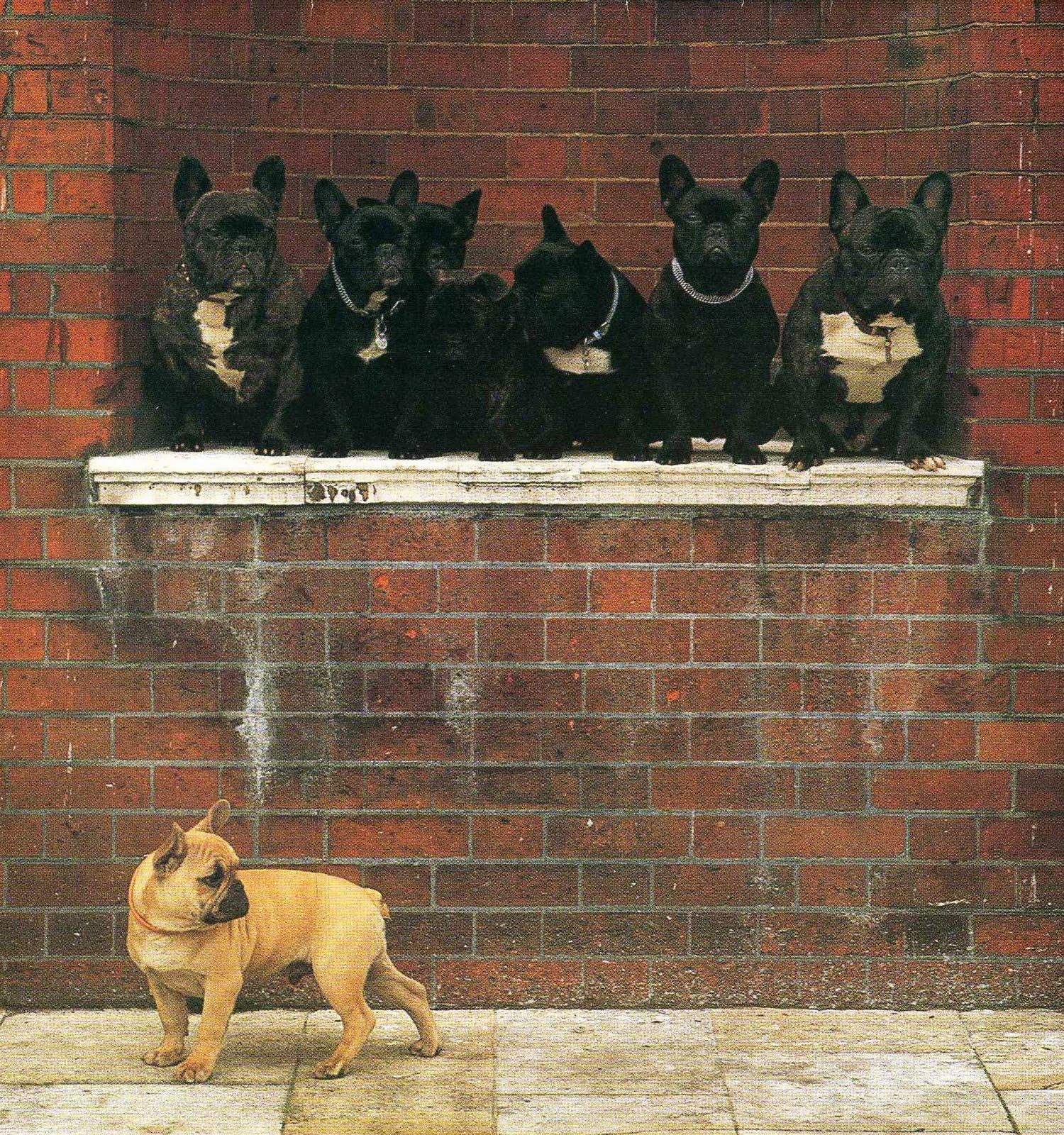 Tan French Bulldog Puppies Sweetest french bulldogs!
