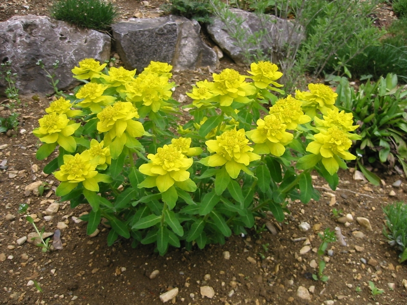 Views from the Garden: Yellow perennial flowers