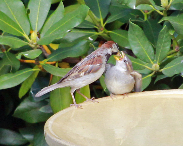 house sparrow feeds fledgling last one