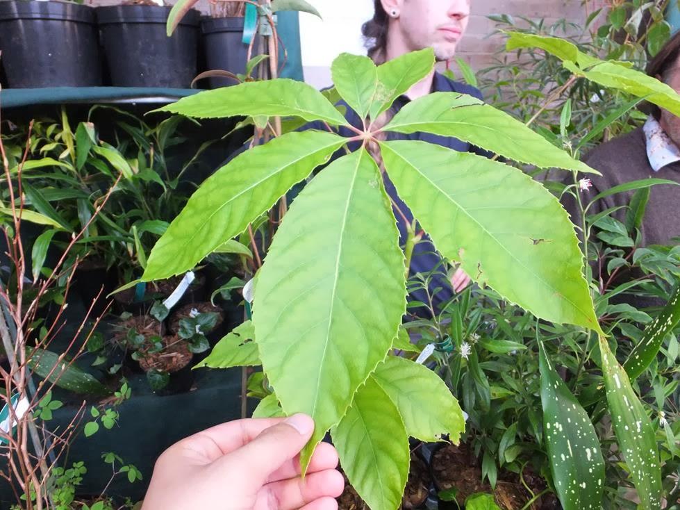 Oreopanax xalapensis