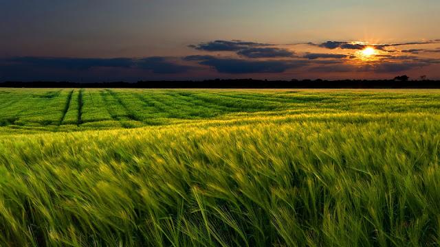 Green Wheat Field Sunset HD Wallpaper
