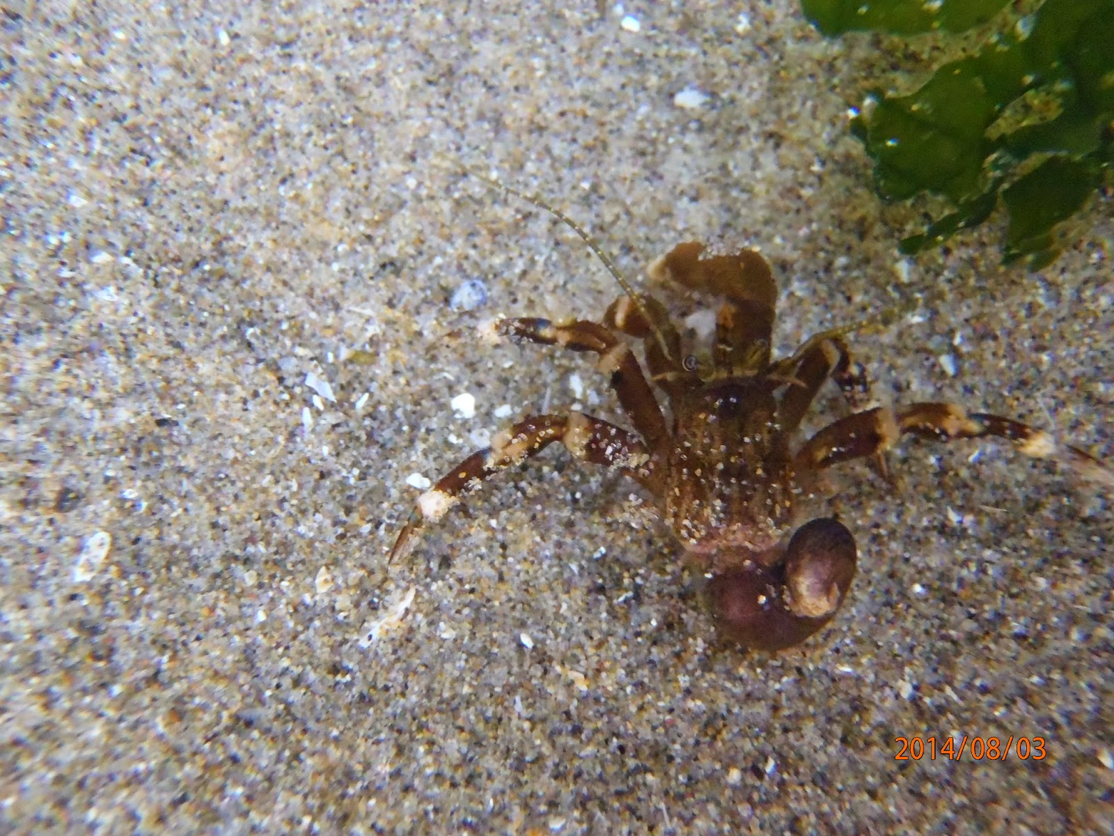 Hermit crab without shell - photo#10