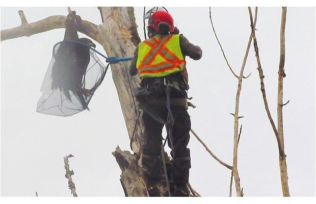 Arborist climbs 25-metre-tall dead tree in Fort Langley to rescue young eagle (Video)
