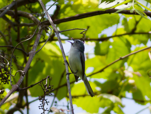 Blue-grey Gnatcatcher - Doodletown, New York