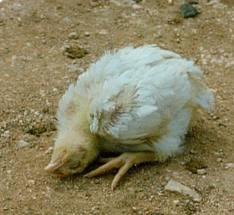Mengenal penyakit Tetelo atau ND pada ayam