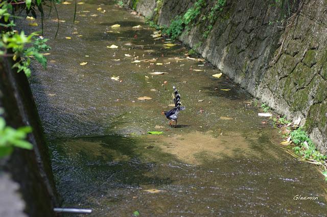 溢洪道裡經常可以見到玩水的藍鵲