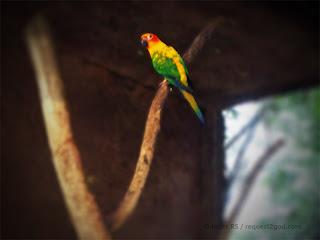 Birds, Jenday Conure Parrots