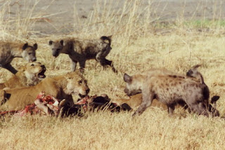 tigers eating after hunted hyenas