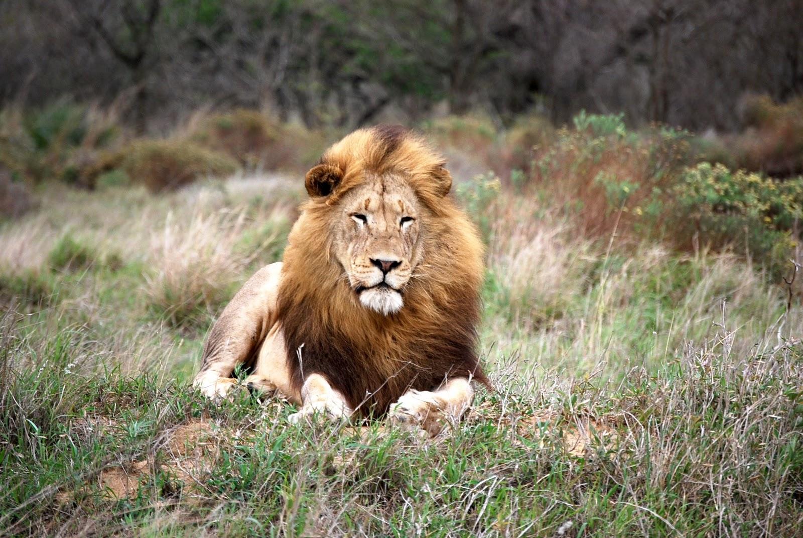 Lion sitting profile - photo#19