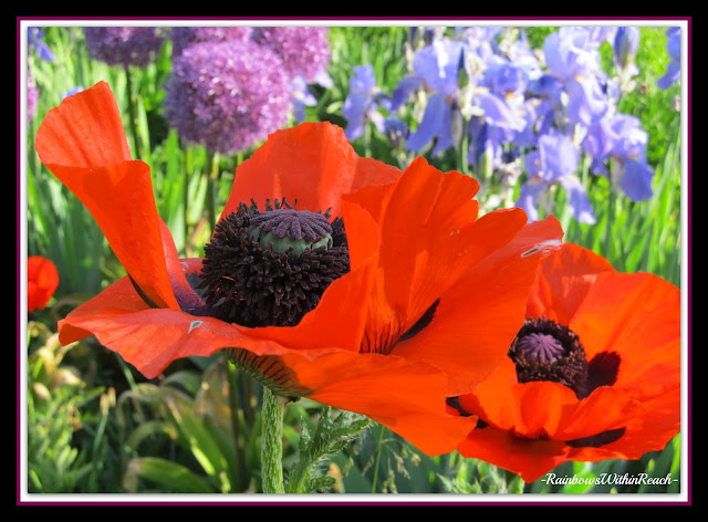 photo of: Contrasting colors: Poppy + Iris photo