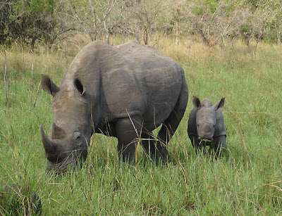African-Rhino-and-Baby