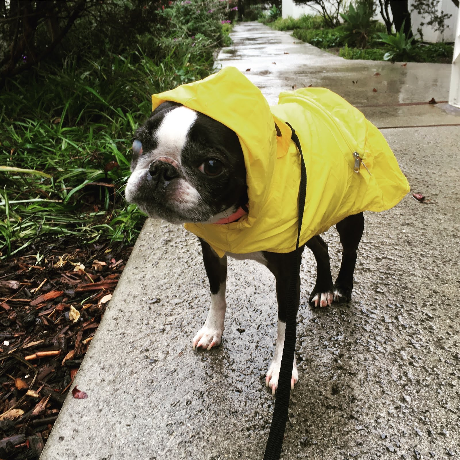 Boston Terriers Rule