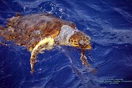 La tortue Caouanne