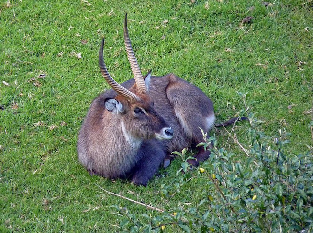 Buy wall art of De Fassa Waterbuck