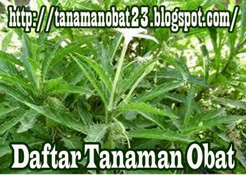 Tanaman Obat Ki Tolod (lsotoma longiflora Presi.)