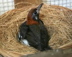 Ciri Burung Anis Kembang Berdasar Daerah Asal