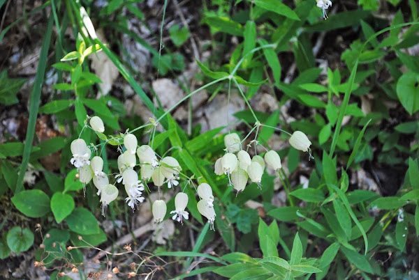Silene vulgaris ou conhecido por copo-de-leite