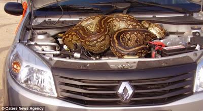 Casal dirige por quilômetros com cobra de quase cinco metros no motor do carro Article-2199106-14DCD382000005DC-160_634x348