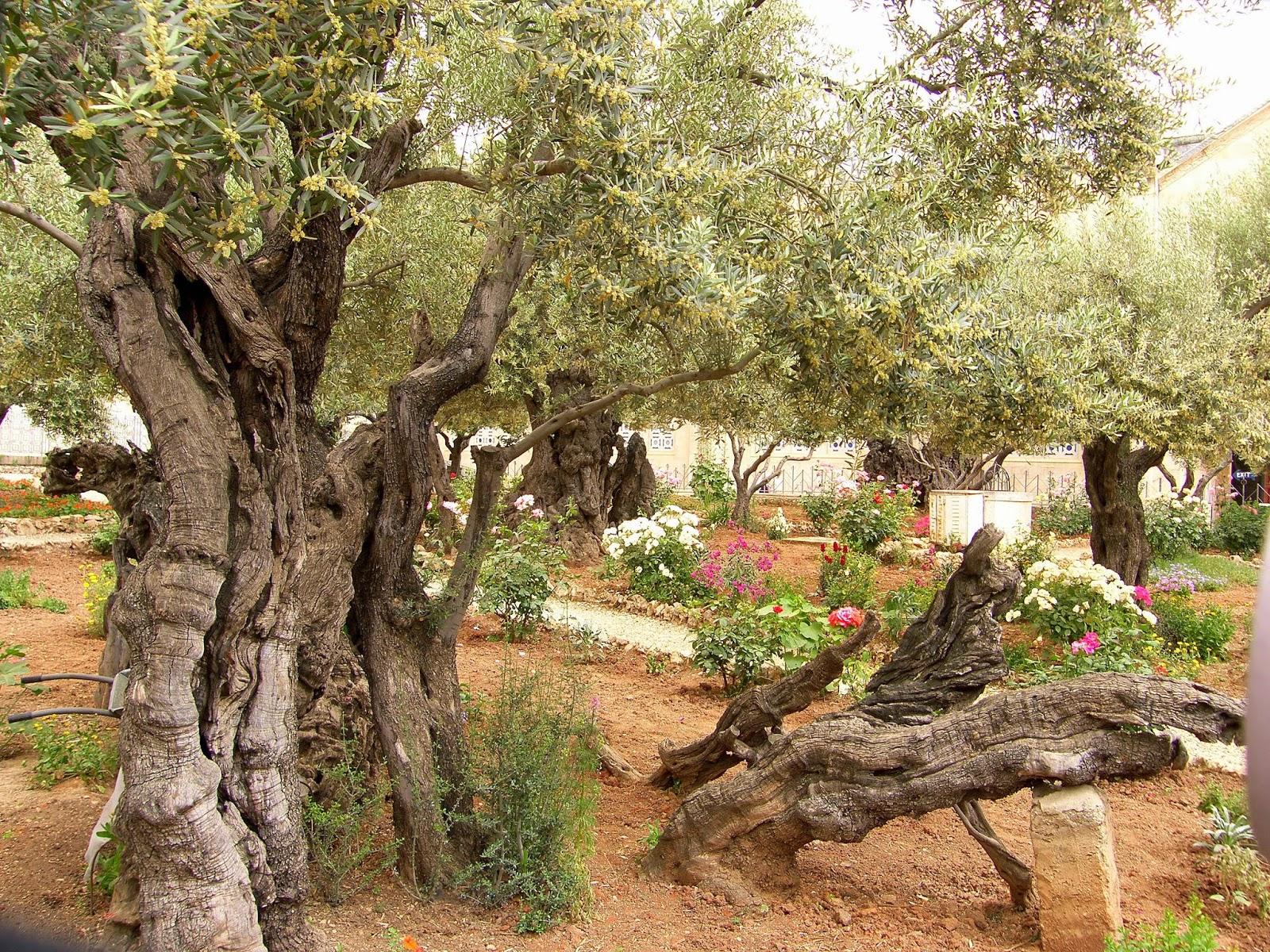 Garden 0f Gethsemane In Israel.