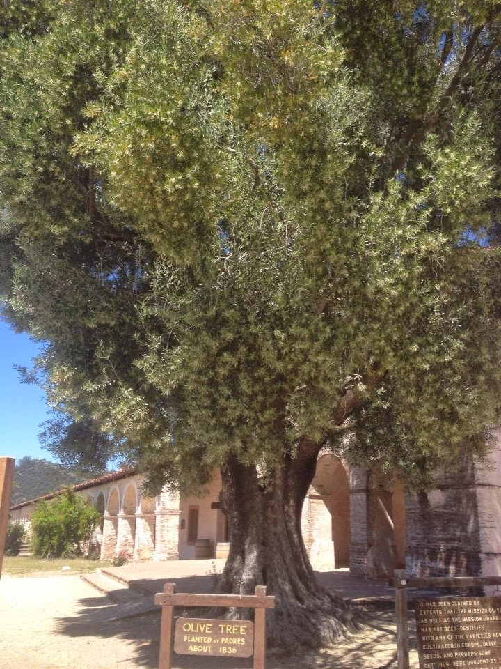 California Olive Tree