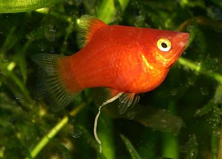 Cara Budidaya Ikan Platy