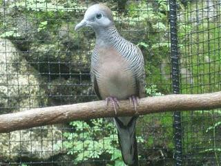 Mempersiapkan Bakalan Burung Perkutut Bangkok Juara