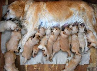 Nuôi chó sinh sản, việc chọn  giống là yếu tố then chốt.