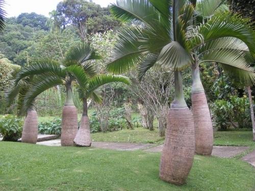 Palmier bouteille flore de l le de la r union - Image palmier ...