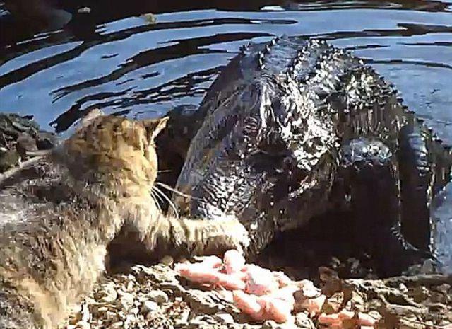 Cat Versus Alligator On Youtube