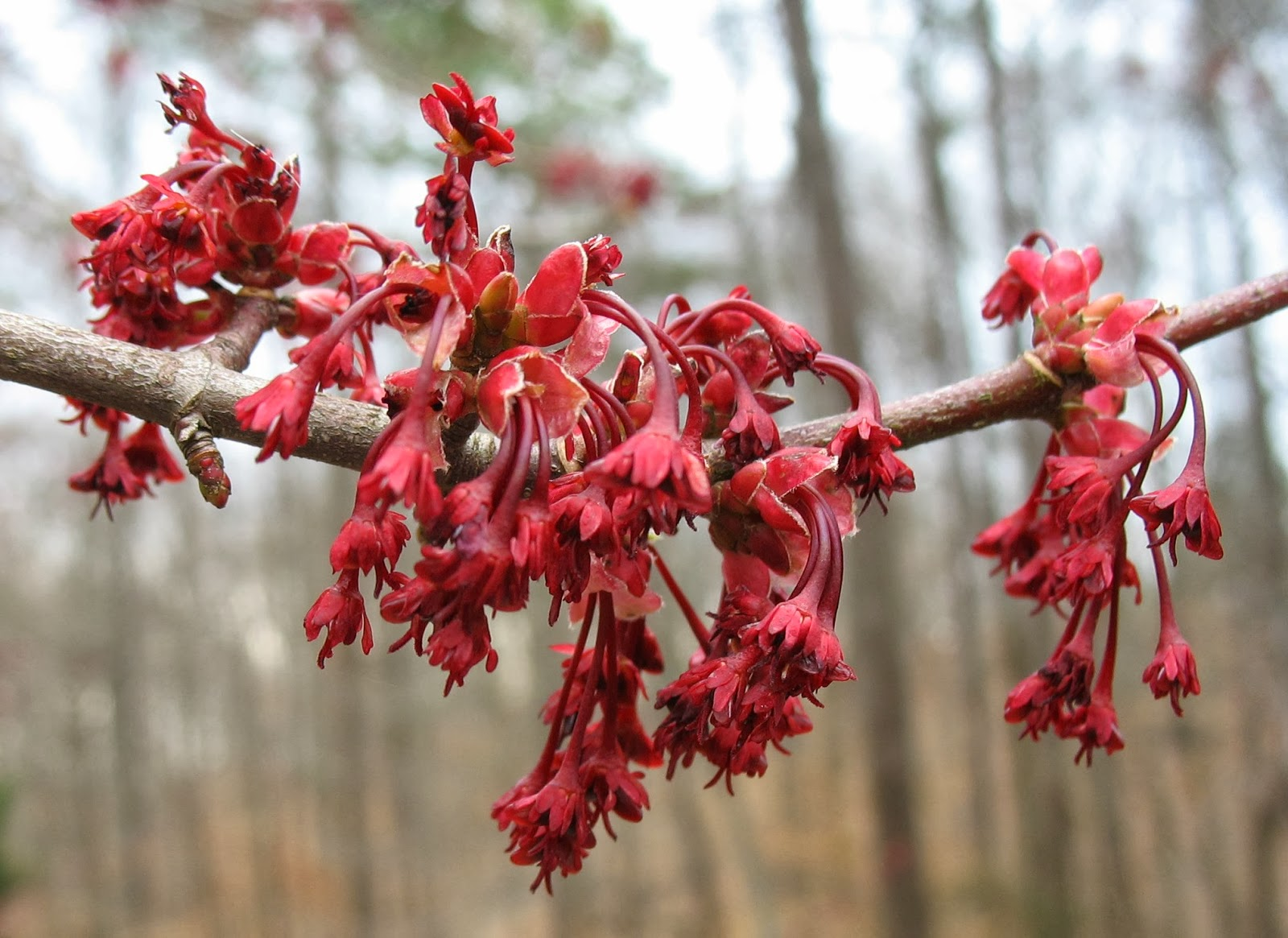 Using georgia native plants red maple takes a chance for Tree with red flowers