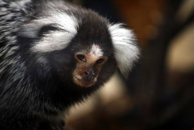 Marmoset by @Doug88888 from flickr (CC-NC-SA)