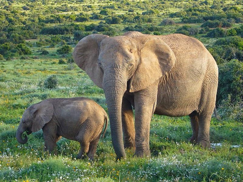 African elephants at Mana Pools National Park, Zimbabwe