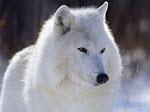 Como Os Homens, Os Lobos São:
