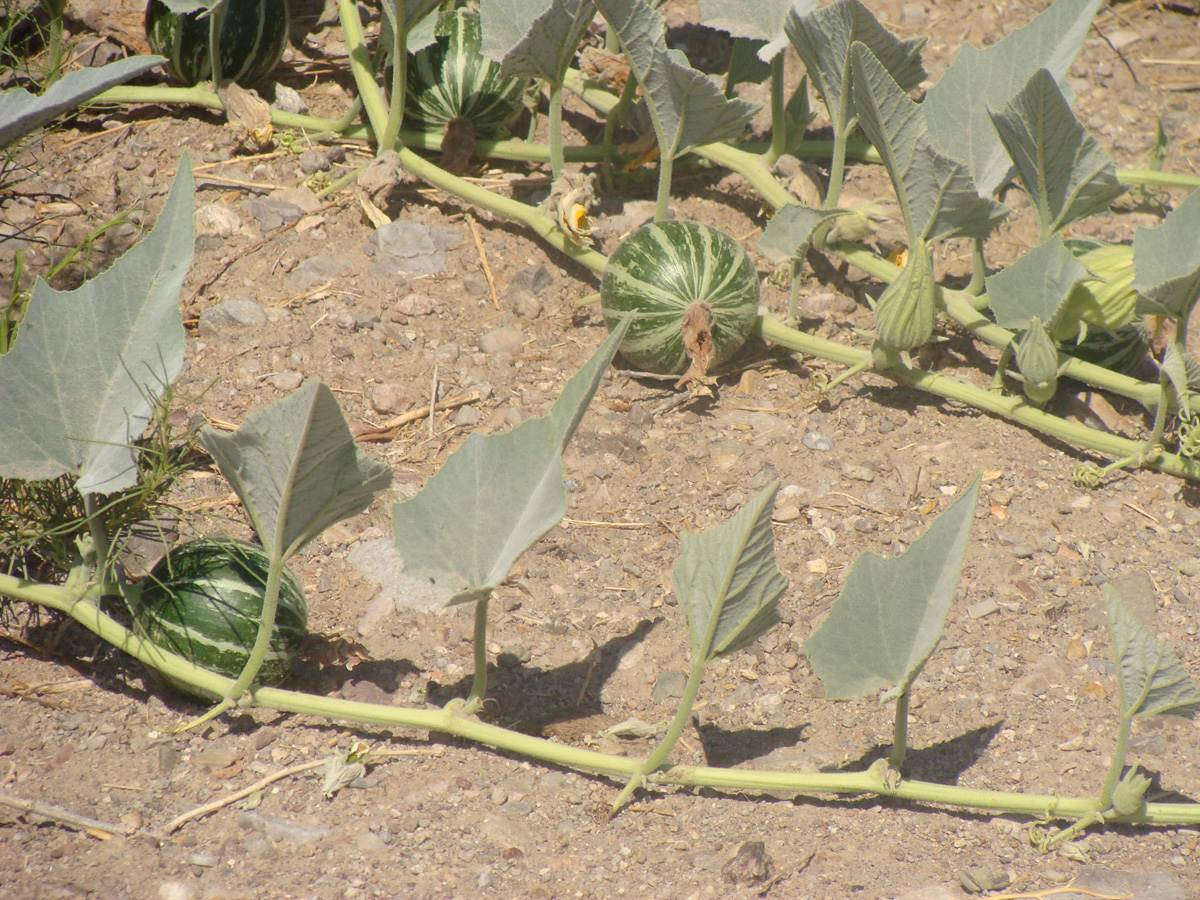 Wild desert gourds that look like baby watermelons gay porn the wild desert