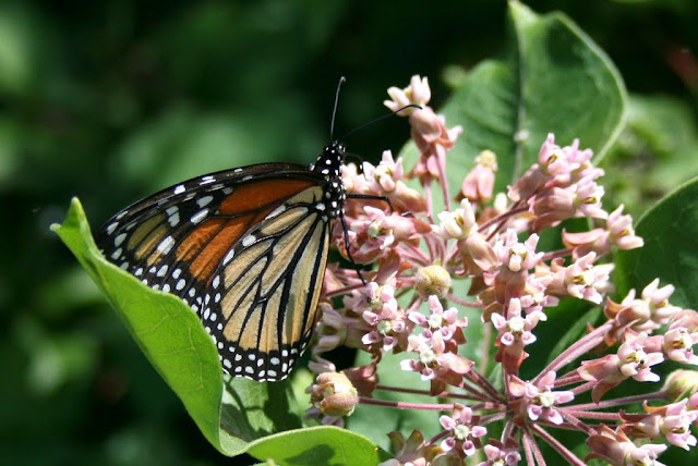 Monarch on milkweed, photo -- Holly Massie, all rights reserved