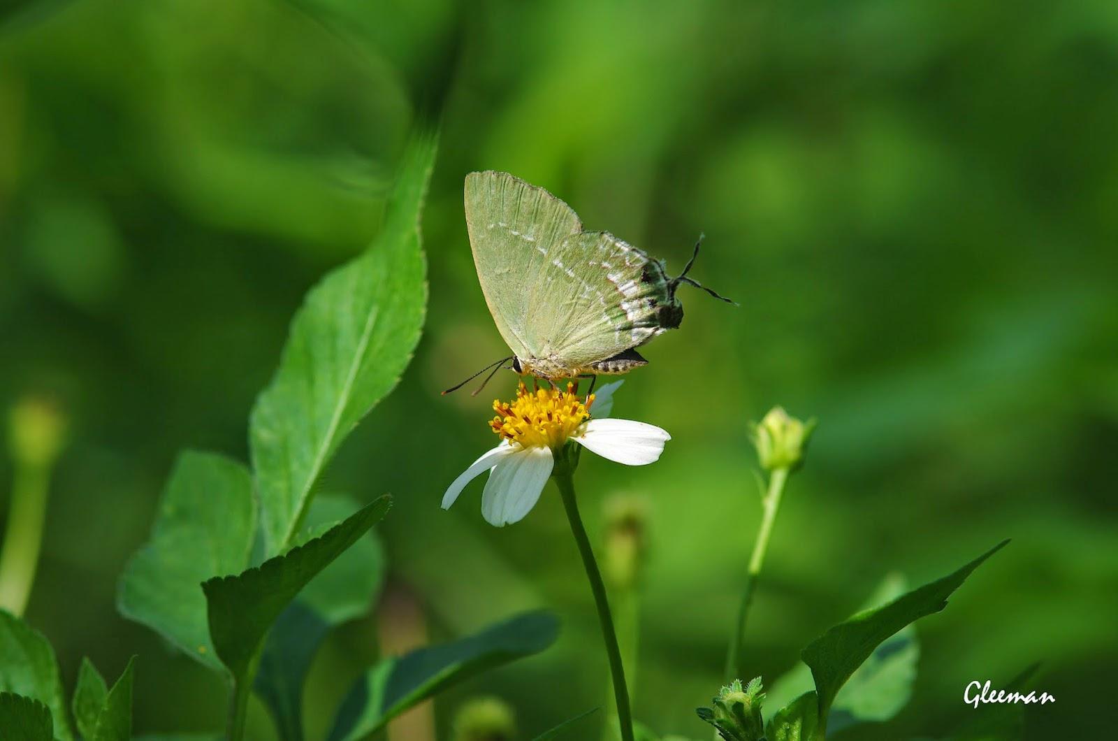 綠灰蝶於雞南山。